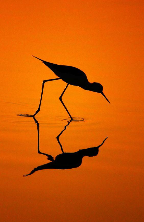 Black Winged Stilt's Silhouette by Bhanu Kiran Botta